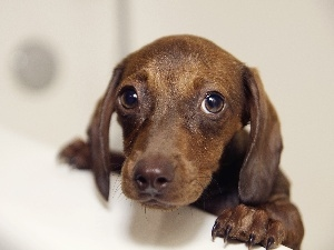 Eyes, sad, small, dachshund