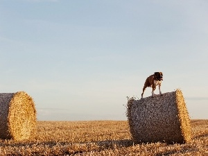 Field, Sky, dog, boxer