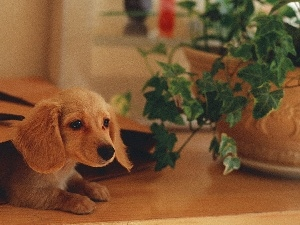 dachshund, Flower, puppie, bag