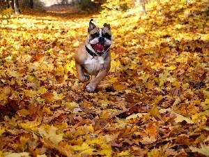 forest, Leaf, Pit Bull, autumn, Path