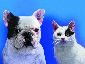 French Bulldog, patch, cat, Black