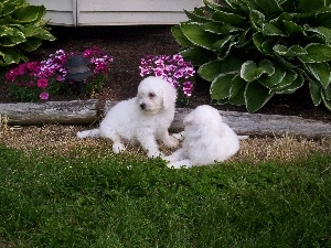 Garden, Bichon frise, Two cars, White