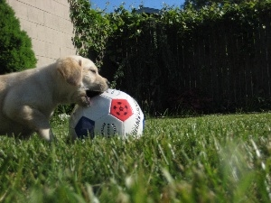 Ball, Golden Retriever