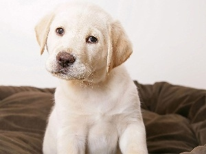 Puppy, Labrador Retriever