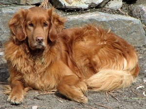 Golden Retriever, stone, doggy