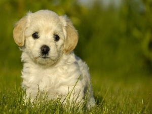 grass, Eyes, dog, Puppy