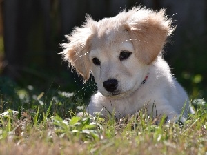 Golden Retriever, grass, White, puppie