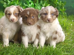 puppies, grass, Three