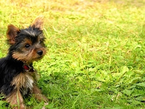 Puppy, grass, dog