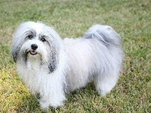 Havanese, white and gray