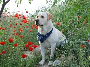 papavers, Labrador Retriever
