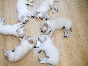 Labradors, Sleeping, puppies, floor