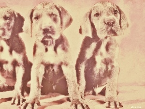 Labradors, Three