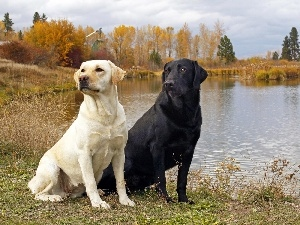 lake, Labradors, Two cars, Dogs