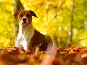 Autumn, Leaf, Pit Bull Terrier