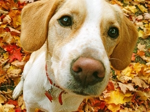 Beagle, Leaf, doggy