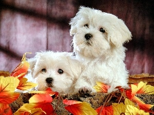 Leaf, Autumn, White, Bichon frise