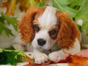 Leaf, color, small, doggie