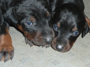 little doggies, Beaucerony, Two cars