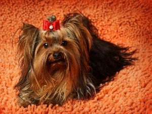 Loop, carpet, Yorkshire Terrier
