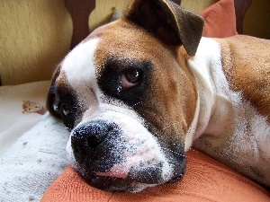 muzzle, The look, boxer
