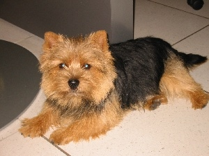 Norwich terrier, black and red