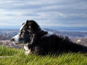 panorama, Meadow, dog, Border Collie, pastoral
