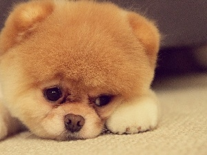 puppie, Pomeranian, sad