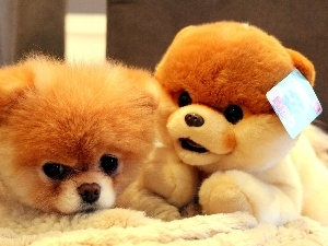 Pomeranian, plush toy, dog