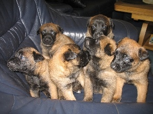 puppies, Belgian Shepherd Malinois, six