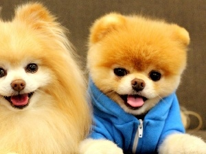 puppies, Pomeranian, Two cars