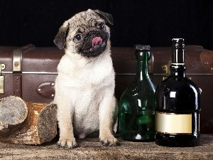 Puppy, Bottles, dog, pug