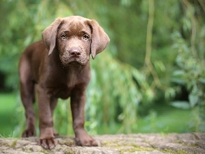 Labrador, Puppy, Brown