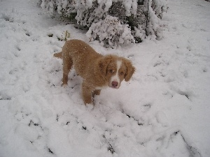 Puppy, snow, Retriever Nova Scotia