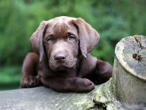 Puppy, retriever, Brown