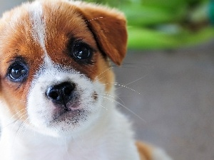 Puppy, Jack Russell Terrier, dog