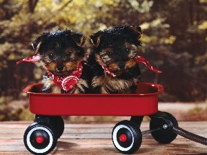 Red, trolley, Yorkshire Terrier