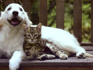 Golden Retriever, cat