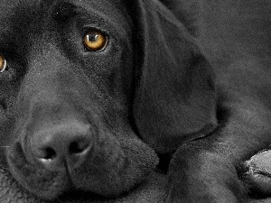 Labrador, retriever, Black