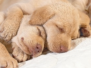 golden, retrievers, Sleeping