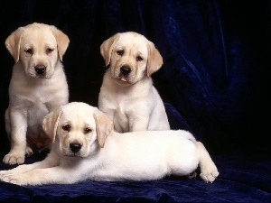 Labradors, retrievers, Three