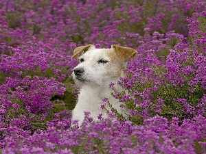 Russell, Jack, Meadow, Terrier, Flowers