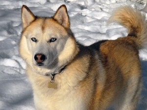 sable, coat, Siberian Husky