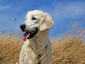 Sky, Golden Retriever, grass