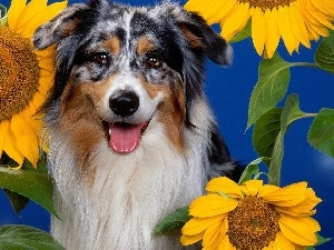 Flowers, sunflower, dog