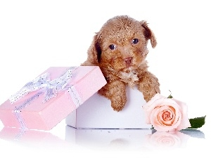 sweet, Present, dog, Bichon frise, Puppy