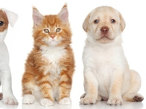 Maine Coon, cat, dog, Labrador Retriever, Jack Russell Terrier