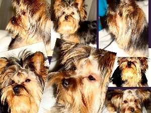 Yorkshire Terrier, collage