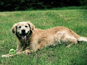 the ball, grass, Golden Retriever