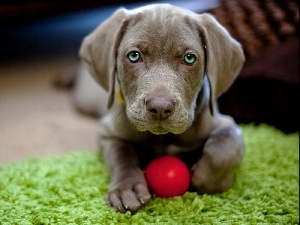 carpet, Ball Weimaraner, Puppy